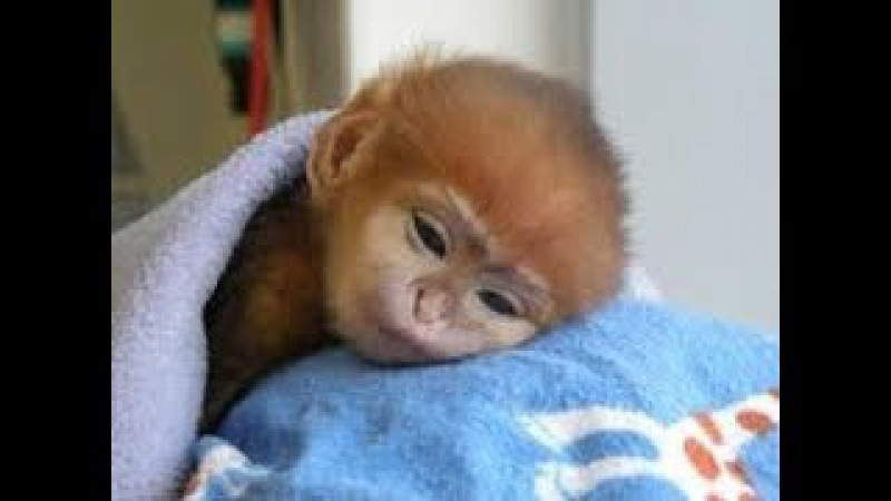 THE CUTEST MONKEYS YOU HAVE EVER SEEN    Cute Baby Monkeys Video
