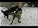 Алабай mix волк VS алабай собачьи бои