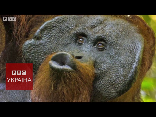 Науковці проводять паралелі між звуками орангутангів і людським мовленням