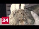 Уникальное открытие: якутские ученые нашли пещерного львенка в вечной мерзлоте