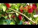 Райские яблочки. Что растет в моем саду