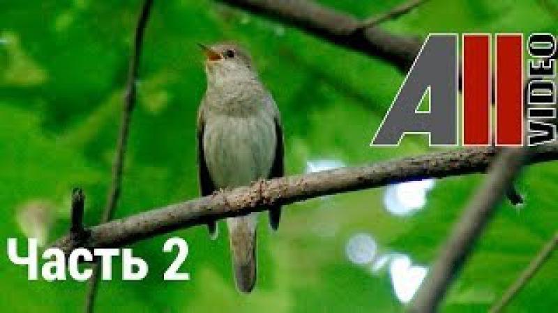 Пение соловья 2. Голоса птиц. Nightingale song. AllVideo.su.