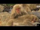 У обезьян все как у людей Классный клип-ТЫ ЖЕНА МНЕ, Я ТВОЙ МУЖ