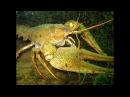 Подводная Охота на Раков на Диком Озере Дно Усеяно Раками