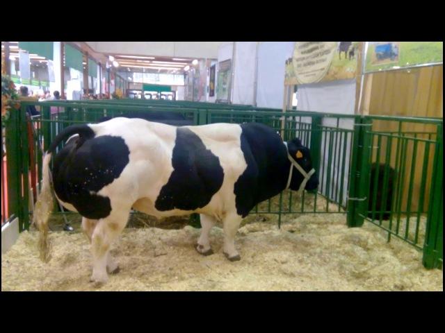 ВОТ ЭТО ЖО..РА У БЫКА Золотая осень 2017. Породы быков и коров. Breeds of bulls and cows.