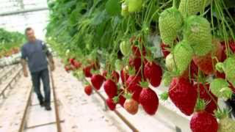 Avis de grand frais ! Les fraises gariguette à la hune