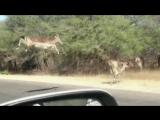Impala impact