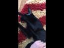 Ориентальный кот мурлыкает
