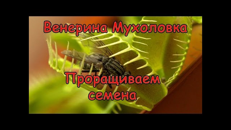 Как Вырастить Венерину Мухоловку Дионея из семян