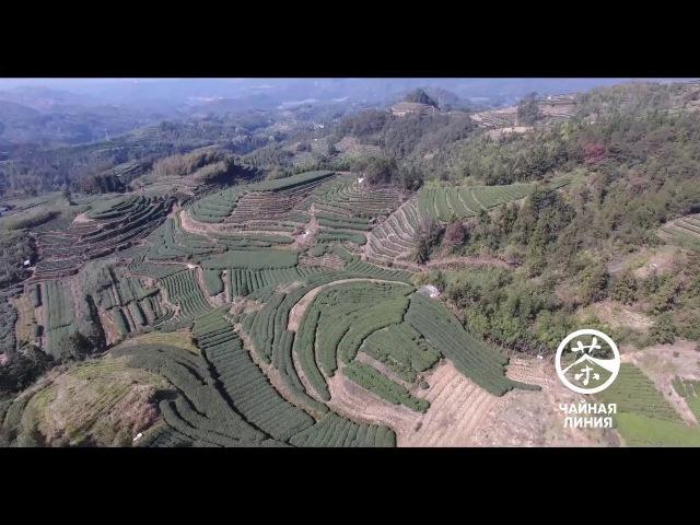 Плантации фудинского белого чая в деревеньке Хулинь