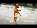 Nobody passed this LAUGH challenge YET - FUNNY DOG videos