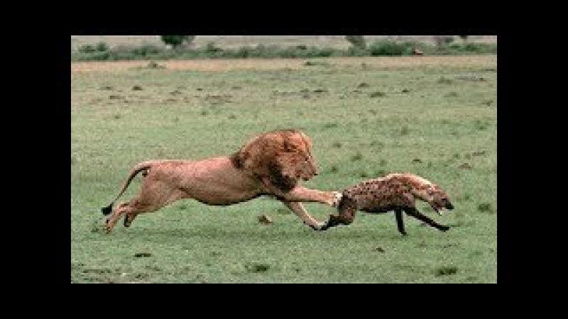 Linh cẩu tấn công người yêu của sư tử nhận kết cục phẫn nộ của sư tử chúa ➔ Lion vs 4 Hyenas