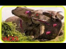 15 безумных животных бои пойман на камеру 3 Лев,буйвол,крокодил,Слон, Медведь,Лев