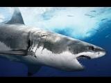 Самая большая акула снятая на видео