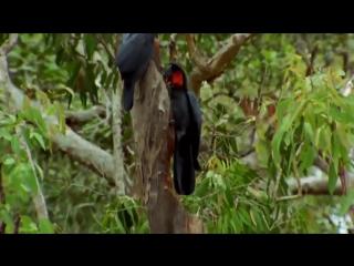 Дикие попугаи. Австралия Документальный фильм (2016)