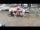 Собачьи бои 18 Булли Кутта (китай) с очень проблемными зк vs Аргентинский дог