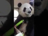 Panda bear eat bamboo