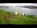 Gull Scavenges Barracuda Head That Northern Royal Albatross Chick Is Unable To Eat 07/02/2017