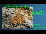 Армия лилипутов - Solenopsis Fugax (муравей-вор).