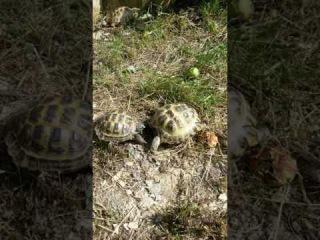 Поединок самцов среднеазиатских черепах (не для слабонервных)