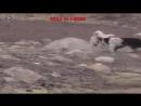 Одинокий Волк против 5ти Собак