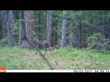 Кабарга, саблезубый олень - from YouTube