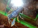 Голубой рачок