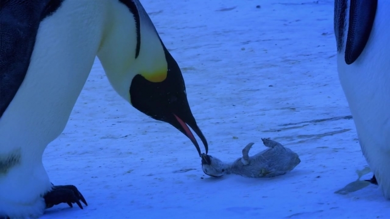 BBC - Penguins Spy in the Huddle 2of3 First Steps-720p HDTV- ArabHD Net