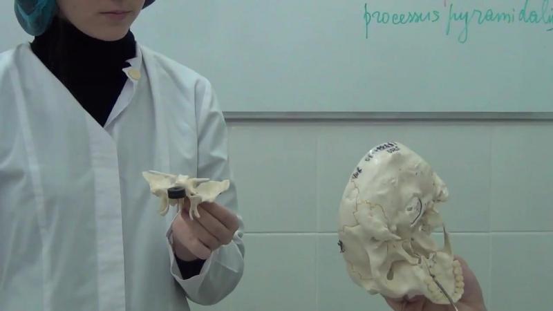 Небная кость.Анатомия.