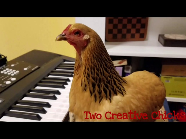Patriotic Chicken Playing America the Beautiful on Keyboard Piano