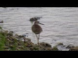 Кулик на берегу лимана. Sandpiper on the coast of the estuary.