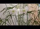 Эухарис-Амазонская лилия-часть1.Как ухаживать, чтобы цвел 3 раза в год!