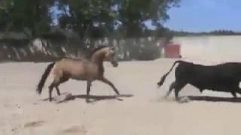 Противостояние быка и коня