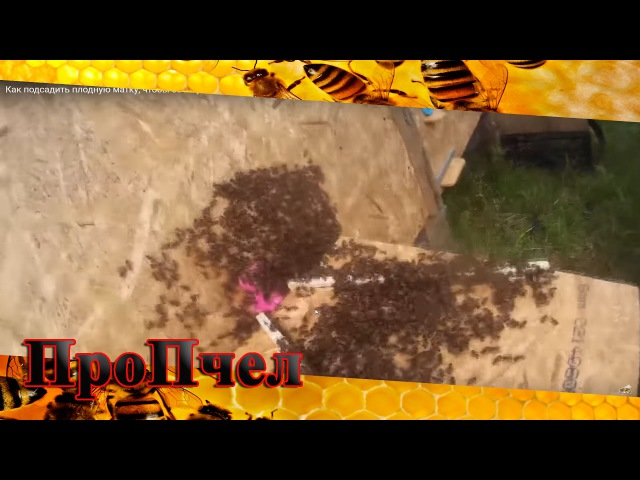 Как подсадить плодную матку, чтобы ее не убили пчелы. 100% метод