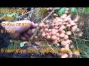 Поход в лес за грибами опятами 9 сентября 2017 Сибирь тайга природа охота сбор гриб