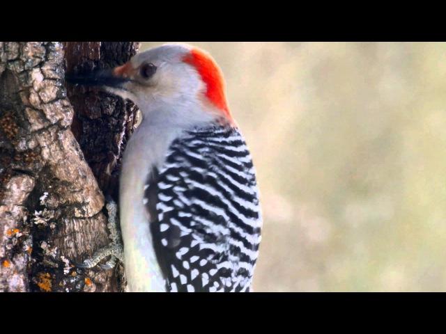Red-bellied Woodpecker / Каролинский меланерпес / Melanerpes carolinus