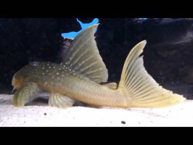 L200 Hi-Fin Baryancistrus demantoides bij Aquarium Speciaalzaak Utaka