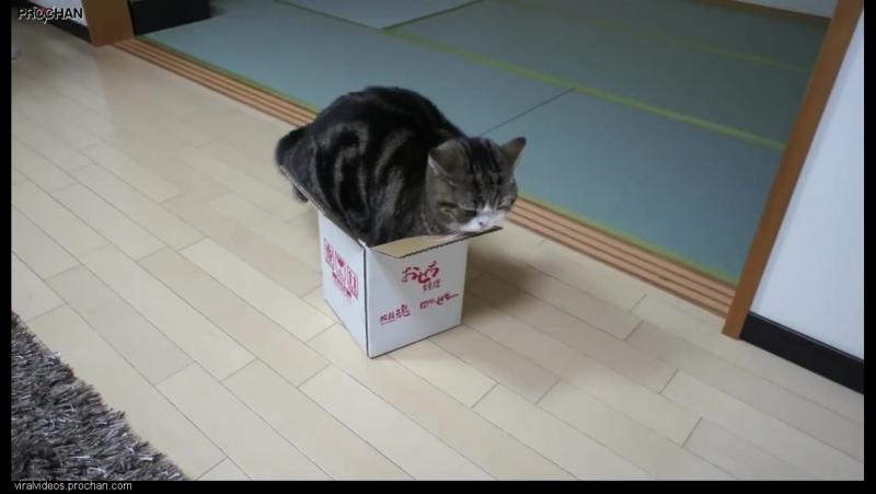 Кот Мару и коробка.