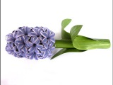 Quilling flowers 3D Paper Hyacinthe (Part 2) Tutorial for steam and leaves