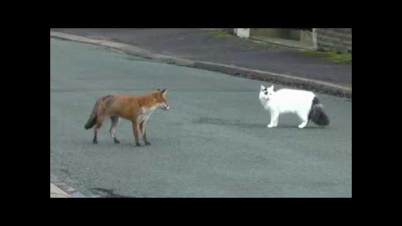 KEDİ TİLKİYE KARŞI (5 KAPIŞMA) - FOX AND CAT SNATCH (5 VİDEO)
