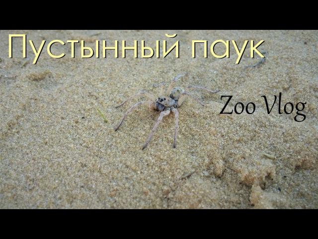 Недовольный пустынный паук | Пустыня | Природа, красота, море песка, и вечное лето...