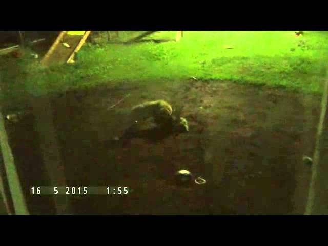 Бешеная лиса напала на собаку во дворе (застрелил)