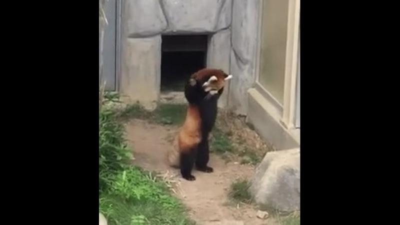 Красная панда в ах*е