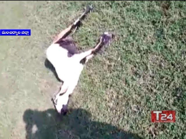 Гибель коз после нападения кабанов The goat died attack of wild boars hajipur manchiryala
