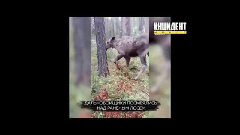 Дальнобойщики поглумились над раненым лосем в Чебаркульском районе