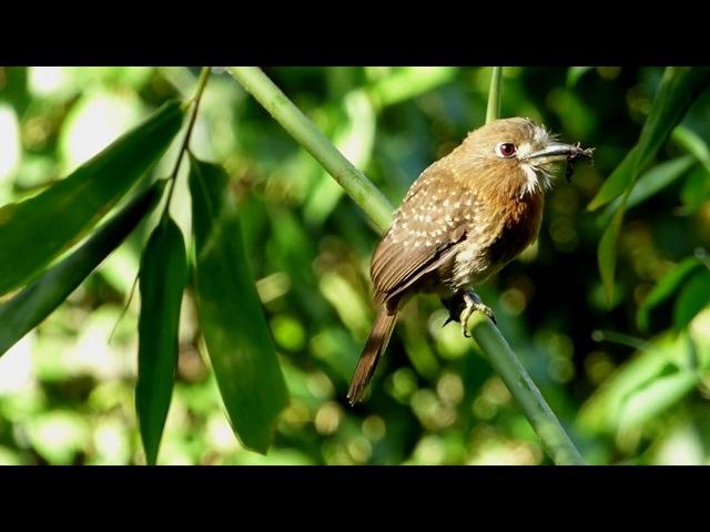Moustached Puffbird Усатая малакоптила Malacoptila mystacalis