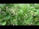 Супер урожай малины. Секрет обрезки.