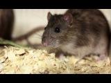 Крысы Животные в мегаполисе