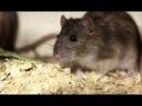 Крысы Джуманджи. Животные в мегаполисе