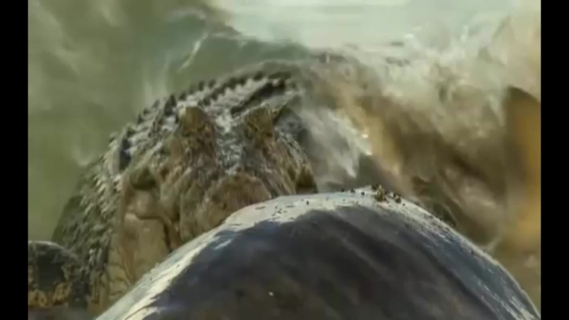 Крокодилы против акул (все видео)